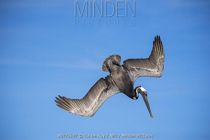 Brown pelican (Pelecanus occidentalis) diving, Urvina Bay, Isabela Island, Galapagos