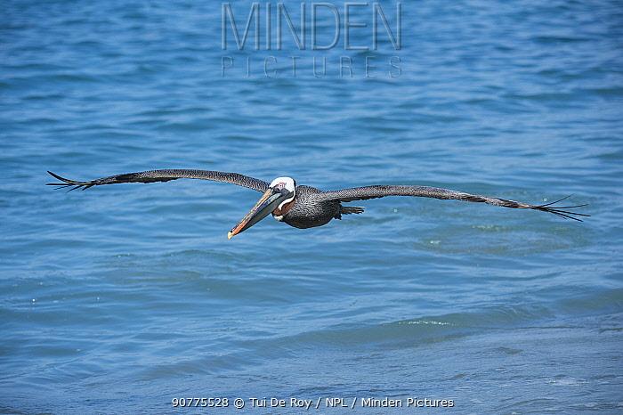 Brown pelican (Pelecanus occidentalis) Urvina Bay, Isabela Island, Galapagos