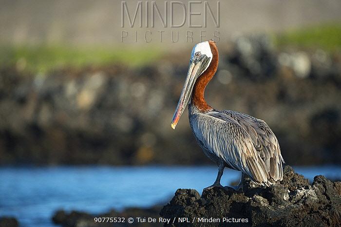Brown pelican (Pelecanus occidentalis) Turtle Cove, Santa Cruz Island, Galapagos