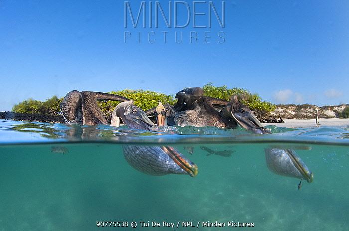 Split level view of Brown pelicans (Pelecanus occidentalis) feeding, Tortuga Bay, Santa Cruz Island, Galapagos