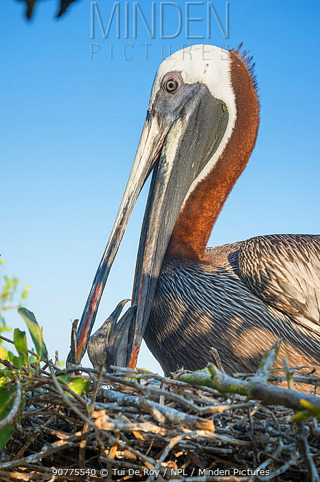 Brown pelican (Pelecanus occidentalis) feeding chick at nest, Puerto Ayora / Academy Bay, Santa Cruz Island, Galapagos