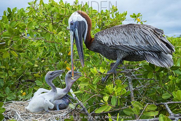 Brown pelican (Pelecanus occidentalis) feeding chicks at nest, Puerto Ayora / Academy Bay, Santa Cruz Island, Galapagos