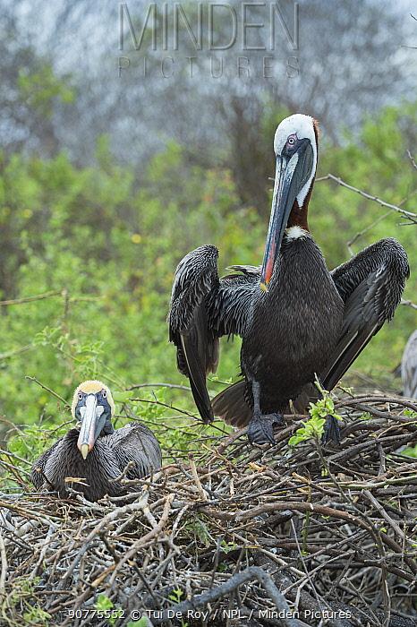 Brown pelican (Pelecanus occidentalis) pair at nest, Urvina Bay, Isabela Island, Galapagos