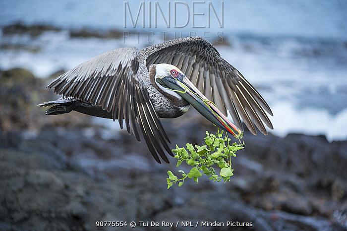 Brown pelican (Pelecanus occidentalis) in flight with nesting material, Urvina Bay, Isabela Island, Galapagos