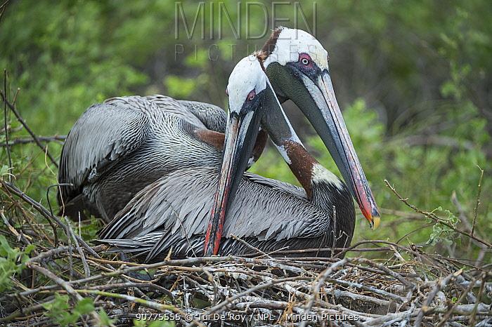 Brown pelican (Pelecanus occidentalis) pair in courtship at nest, Urvina Bay, Isabela Island, Galapagos