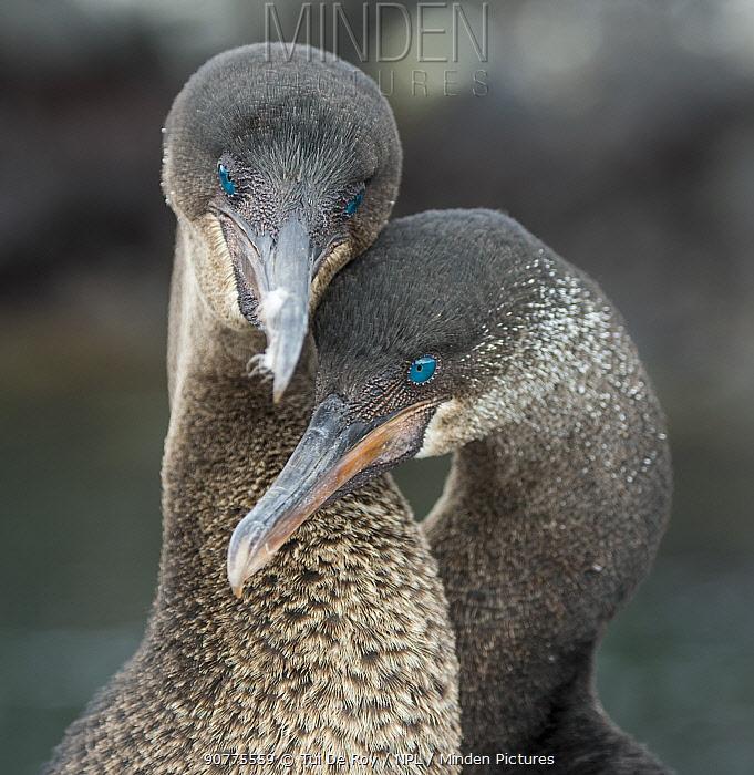 Flightless cormorant (Phalacrocorax harrisi) pair in courtship Puerto Pajas, Isabela Island, Galapagos