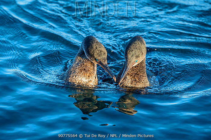 Flightless cormorant (Phalacrocorax harrisi) pair in courtship,  Puerto Pajas, Isabela Island, Galapagos