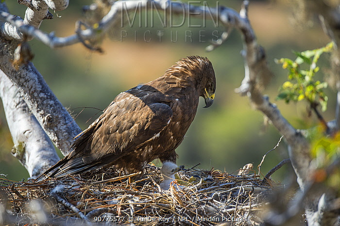 Galapagos hawk (Buteo galapagoensis) on nest, Sullivan Bay, Santiago Island, Galapagos