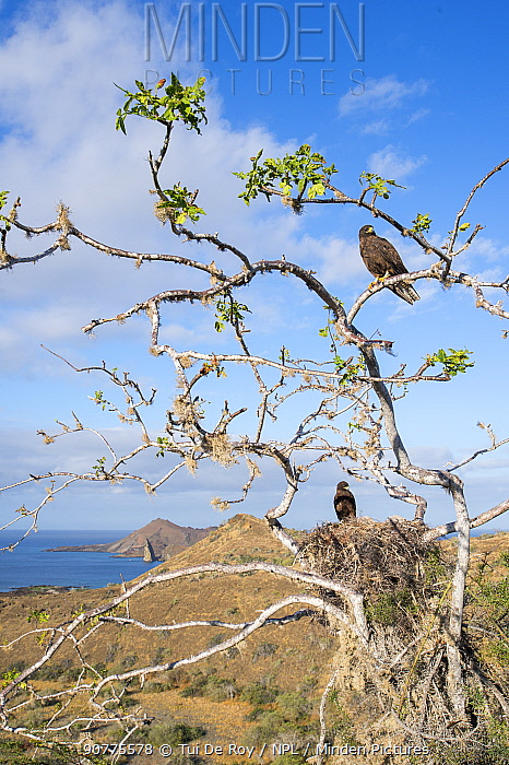 Galapagos hawk (Buteo galapagoensis) group perched in tree with nest,  Sullivan Bay, Santiago Island, Galapagos