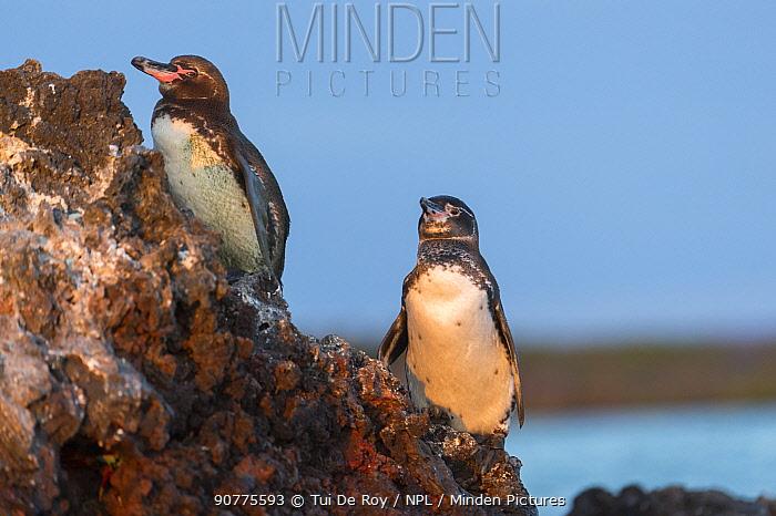 Galapagos penguin (Spheniscus mendiculus) Elizabeth Bay, Isabela Island, Galapagos