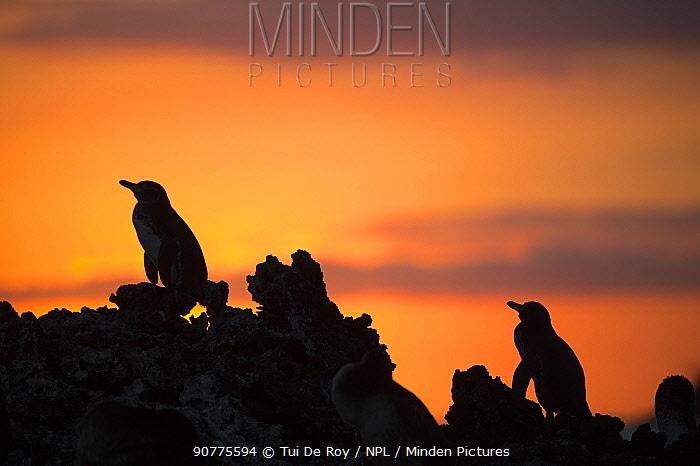 Galapagos penguin (Spheniscus mendiculus) silhouetted at sunset, Elizabeth Bay, Isabela Island, Galapagos