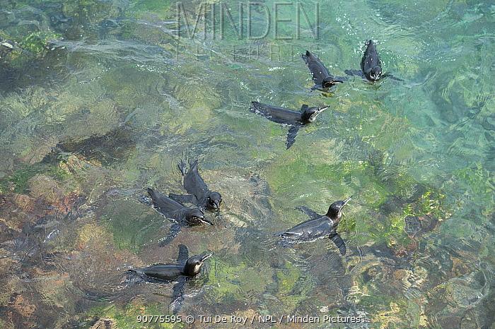 Galapagos penguin (Spheniscus mendiculus) group swimming in the sea, Black Beach, Floreana Island, Galapagos