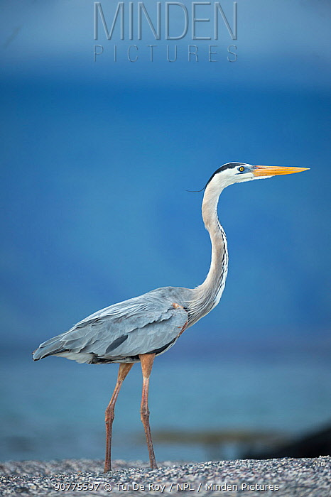 Great blue heron (Ardea herodias) Punta Espinosa, Fernandina Island, Galapagos