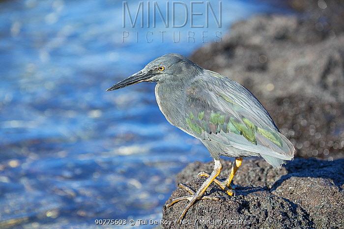 Lava heron (Butorides sundevalli) Sullivan Bay, Santiago Island, Galapagos