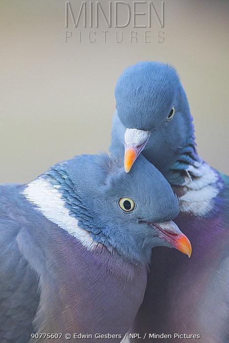 Wood pigeon (Columba palumbus) pair preening one another, The Netherlands.