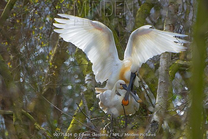 Spoonbill (Platalea leucorodia) pair mating, The Netherlands.