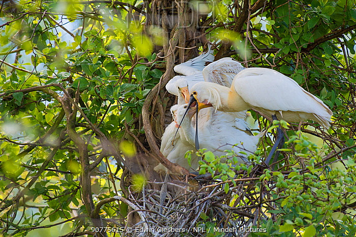 Spoonbill (Platalea leucorodia) feeding chicks at nest, The Netherlands.