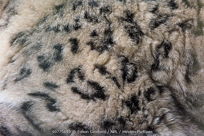 Snow leopard (Panthera uncia)  close up of fur, captive.
