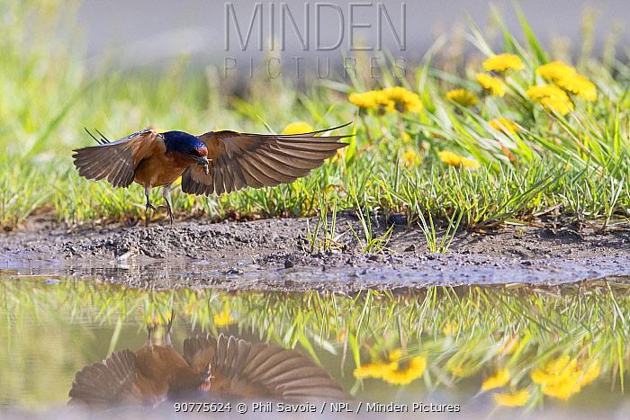 American barn swallow (Hirundo rustica erythrogaster) in flight gathering mud to build nest, Yellowstone National Park, Montana, August.