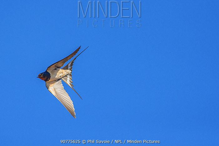 Barn swallow (Hirundo rustica), in flight, Monmouthshire, Wales UK, June.