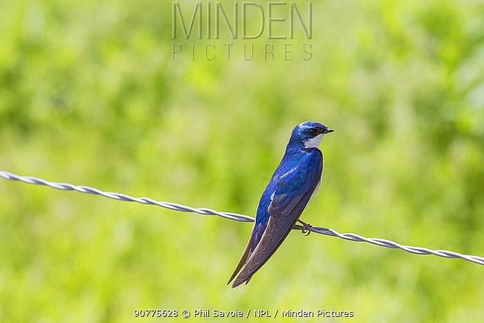 Tree swallow (Tachycineta bicolor), Madison River, Montana, USA, June.