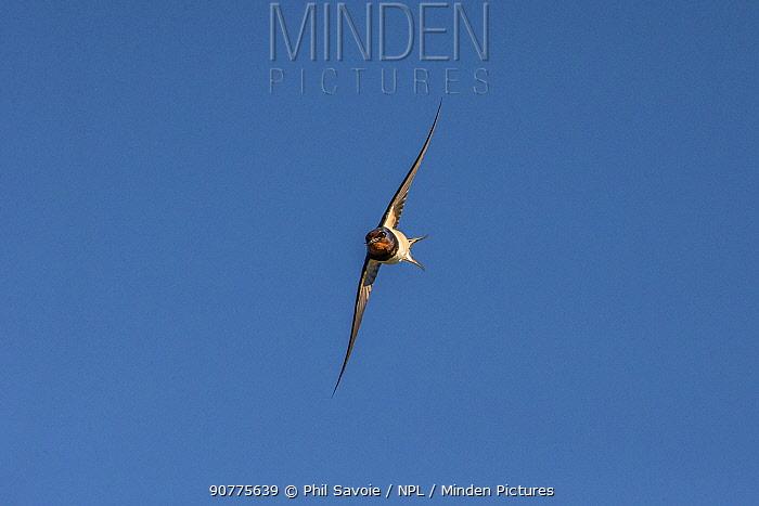 Barn swallow (Hirundo rustica), in flight, Monmouthshire, Wales, UK June.