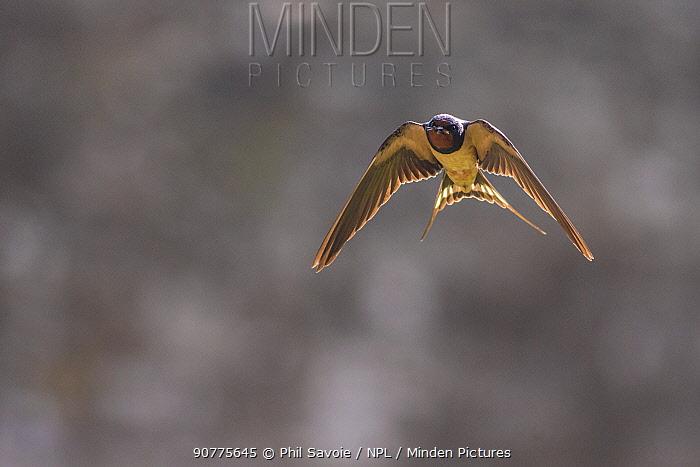 Barn swallow (Hirundo rustica), Monmouthshire, Wales, UK, July.