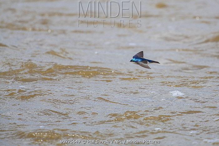 Tree swallow (Tachycineta bicolor) in flight over Madison River, Montana, USA, June.