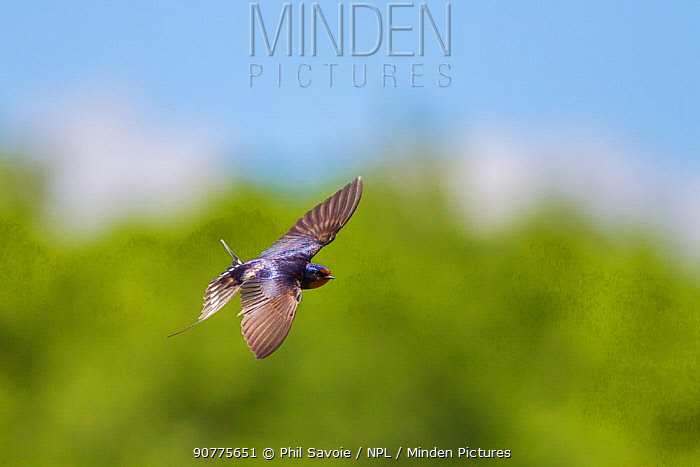 Barn swallow (Hirundo rustica), in flight, Monmouthshire, Wales, UK, June.