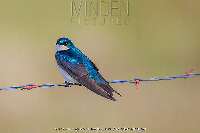 Tree swallow (Tachycineta bicolor) perched on barbed wire, Montana, USA, June.