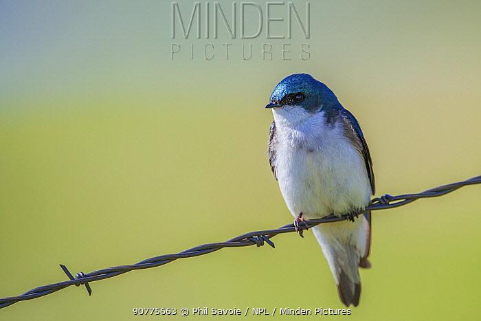 Tree swallow (Tachycineta bicolor) portrait, Montana, USA, June.