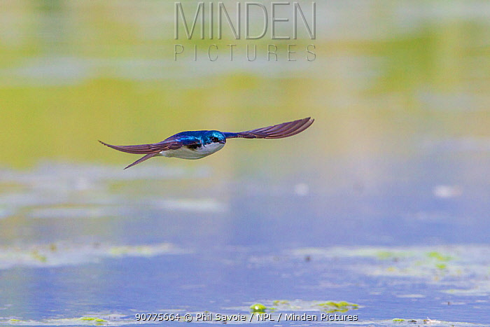 Tree swallow (Tachycineta bicolor) in fight over the Madison River, Montana, USA, June.
