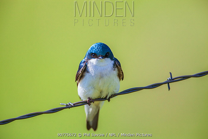 Tree swallow (Tachycineta bicolor) perched on wire, Madison River, Montana, USA. June.