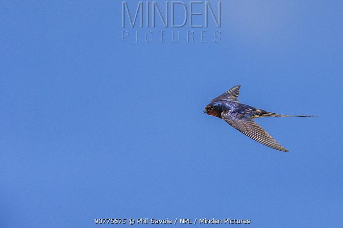 Barn swallow (Hirundo rustica) in flight, Monmouthshire, Wales, UK, June.