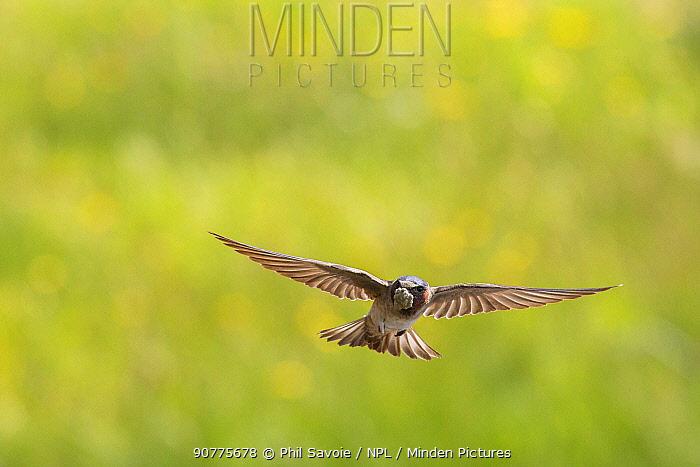 Cliff swallow (Petrochelidon pyrrhonota) in flight carrying nesting material,  Nez Perce Creek, Yellowstone National Park, Montana, USA, July.