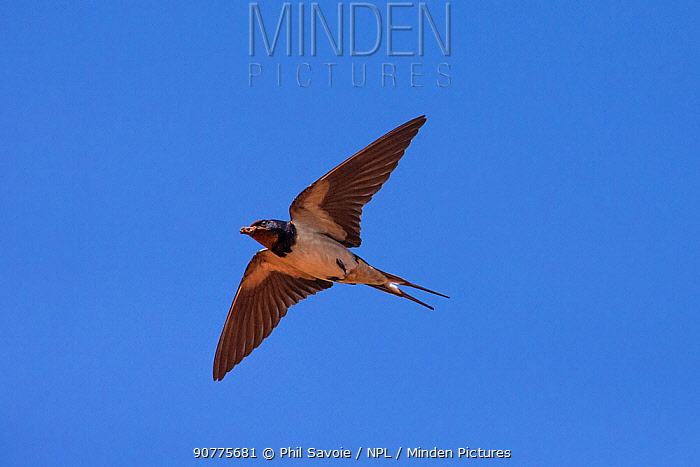 Barn swallow (Hirundo rustica) in flight hunting insects, Monmouthshire, Wales, UK, June.