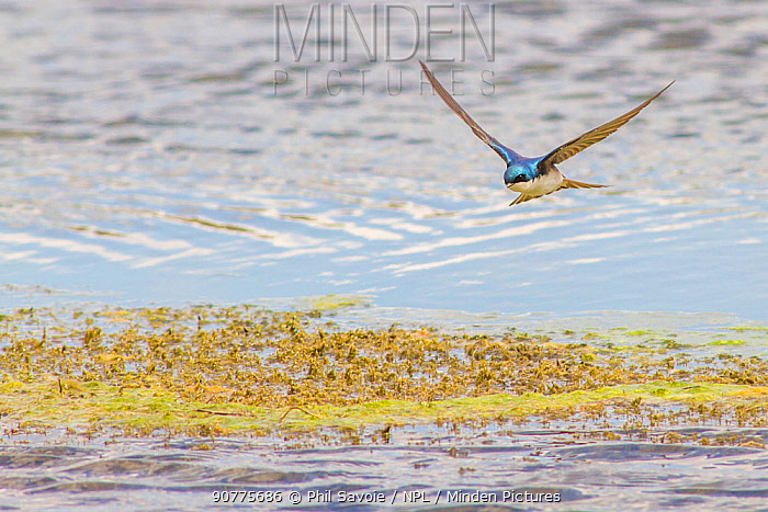 Tree swallow (Tachycineta bicolor) in flight feeding over the Madison River, Montana, USA, May.