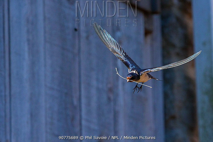 Barn swallow (Hirundo rustica) in flight with nesting material on farm, Monmouthshire, Wales, UK, May.