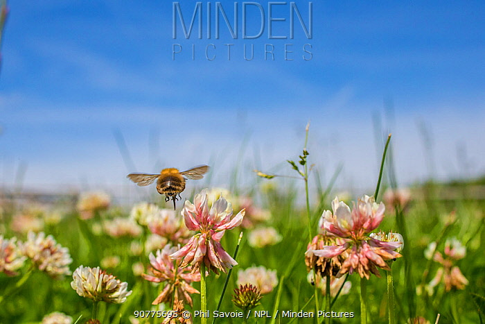 Common carder bumblebee (Bombus pascuorum) flying to Clover (Trifolium) flowers, Monmouthshire, Wales, UK, June.