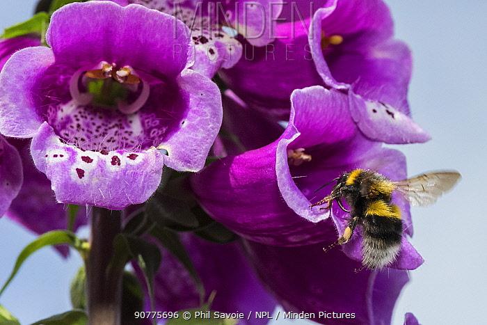Garden bumblebees (Bombus hortorum) visiting Foxglove (Digitalis purpurea) Monmouthshire, Wales, UK, June.
