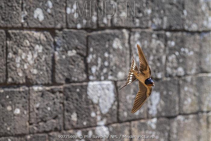 Barn swallow (Hirundo rustica) in flight, Raglan Castle, Monmouthshire, Wales UK, July.