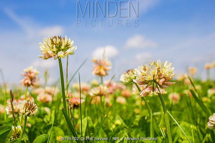 Clover (Trifolium sp) flowers in unmown lawn, Monmouthshire, Wales, UK, June.