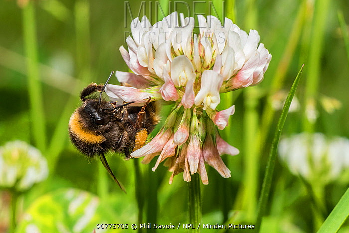 Buff-tailed bumblebee (Bombus terrestris) feeding from Clover (Trifolium) flowers, Monmouthshire, Wales, UK. June