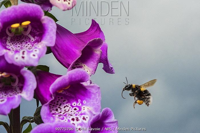 Garden bumblebee (Bombus hortorum), flying to Foxglove (Digitalis purpurea), flower, Monmouthshire, Wales, UK. June.
