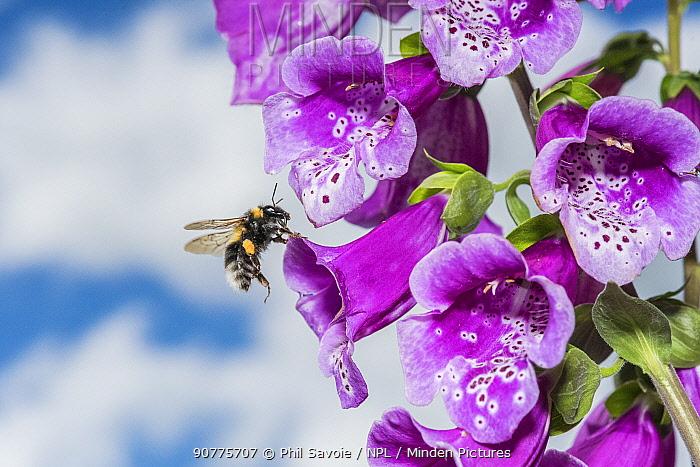 Garden bumblebee (Bombus hortorum) flying to Foxglove (Digitalis purpurea) flowers, Monmouthshire, Wales, UK, June.