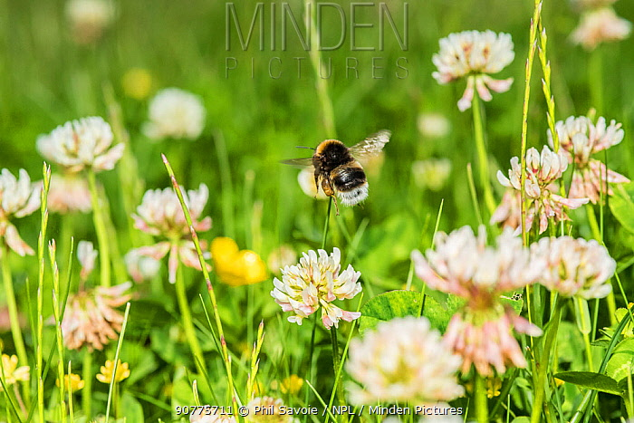 Buff-tailed bumblebee (Bombus terrestris) feeding from Clover (Trifolium) flowers, Monmouthshire, Wales, UK. June.