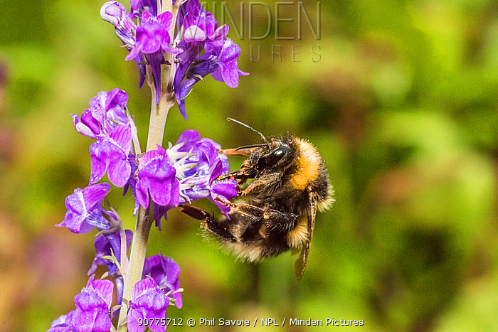 Garden bumblebee (Bombus hortorum) worker visiting Purple toadflax (Linaria purpurea) Monmouthshire, Wales, UK, June.