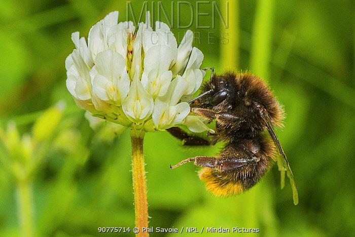 Red tailed bumblebee (Bombus lapidarius), visiting Clover (Trifolium) flower, Monmouthshire, Wales, UK. June.