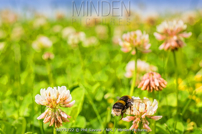 Buff tailed bumblebee (Bombus terrestris), flying to Clover (Trifolium) flower in unmown lawn, Monmouthshire, Wales, UK. June.
