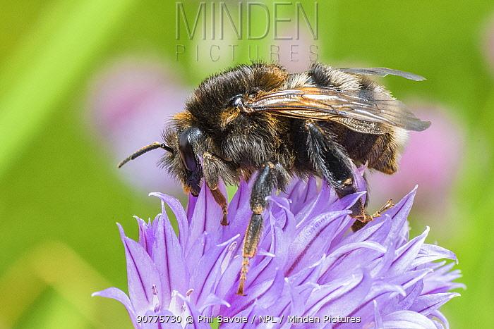Tree bumblebee (Bombus hypnorum) melanistic form,  Wales UK, June.